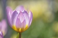 Tulip Lilac Wonder Fine Art Print