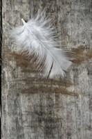 White Feather on Wood Fine Art Print