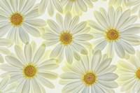 Daisy Flowers Fine Art Print
