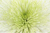 Lime Light Spider Mum Fine Art Print