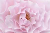 Rose Pink Rose Fine Art Print