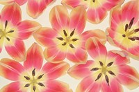 Yellow and Coral Red Tulips Fine Art Print