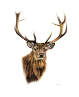 Stag White Background Fine Art Print