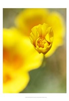 California Poppy III Fine Art Print