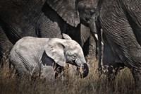 Baby Elephant I Fine Art Print