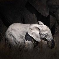 Baby Elephant II Fine Art Print