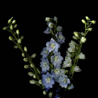 A Lighter Shade Of Pale - Delphinium Larkspur Fine Art Print