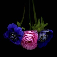 Anemone And Ranunculus Fine Art Print