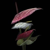Anthurium 2 Fine Art Print