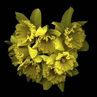 Explosion In Yellow - Daffodils Fine Art Print