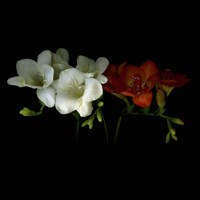 Freesia 1 Fine Art Print