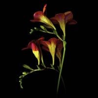 Freesia 2 Fine Art Print
