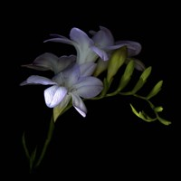 Freesia 3 Fine Art Print
