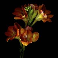 Freesia 4 Fine Art Print