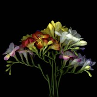 Freesia 7 Fine Art Print