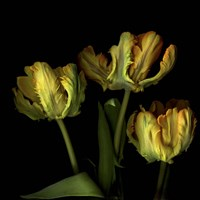 Golden Parrot Tulips Fine Art Print