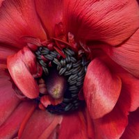 Heart Of A Red Ranunculus Fine Art Print