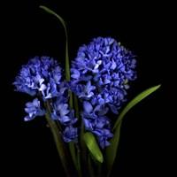 Hyacinth 1 Fine Art Print