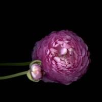 Pink Ranunculus 2 Fine Art Print