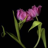 Pink Tulips 1 Fine Art Print