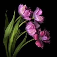 Pink Tulips 2 Fine Art Print