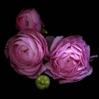 Ranunculus 2 Fine Art Print