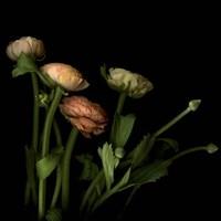 Ranunculus 4 Fine Art Print