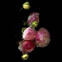 Ranunculus 11 Fine Art Print