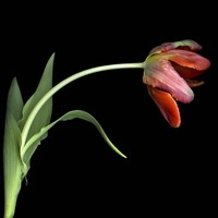 Red Tulip 3 Fine Art Print