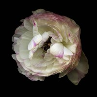 Singled Out - Ranunculus Fine Art Print