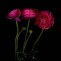 Trois Belles - Ranunculus Fine Art Print