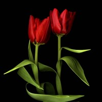 Tulips Embracing Fine Art Print