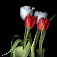 Tulips From Amsterdam Fine Art Print