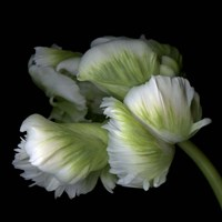White And Green Parrot Tulip Fine Art Print