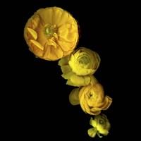 Yellow Cascade - Ranunculus Fine Art Print