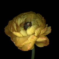 Yellow Ranunculus Fine Art Print