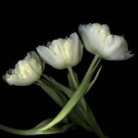 Yellow White Tulips 2 Fine Art Print