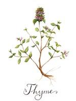 Thyme Fine Art Print