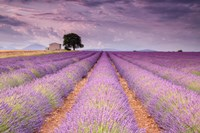 Stone House in Lavender Field Fine Art Print