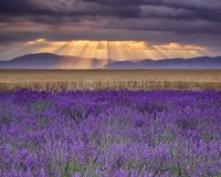 Sunbeams over Lavender Fine Art Print
