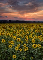 Sunflowers to the Sky Fine Art Print