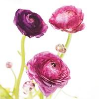 Spring Ranunculus I Framed Print
