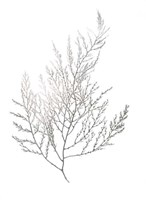 Silver Foil Algae II - Metallic Foil Framed Print