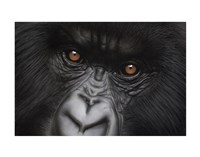 Eyes of Virunga: Mountain Gorilla Fine Art Print