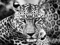 Young Leopard Fine Art Print