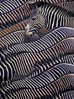 Zebras in Samburu National Reserve, Kenya Fine Art Print