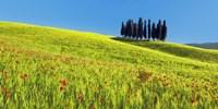 Cypress and Corn Field, Tuscany, Italy Fine Art Print