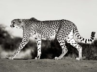 Cheetah, Namibia, Africa Fine Art Print