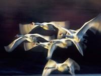 Mute Swan, Munich, Germany Fine Art Print