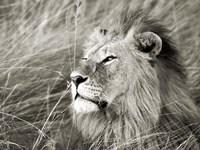 African Lion, Masai Mara, Kenya 1 Fine Art Print